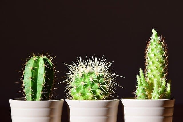 3 cacti in pots to purify air in a house