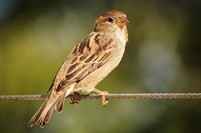 Mobile tower radiation may be responsible for disappearing bird species like sparrows